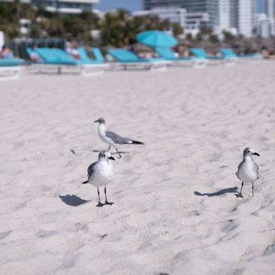 Seagulls on Miami Beach